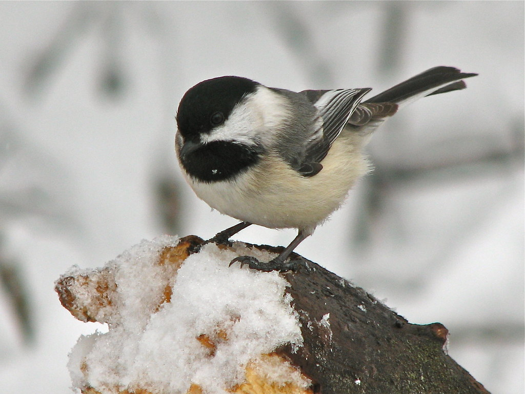 """Black-Capped Chickadee 1"""