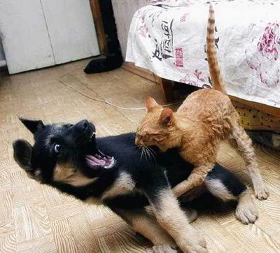 cat-fight-dog