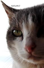 MiaoMiao MicioMicio (AnnaBrambilla) Tags: macro eye nature face animal cat eyes nikon natura occhi gatto occhio animale micio muso