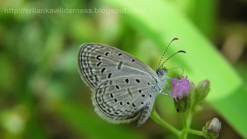 Tiny Grass Blue/ Zizula gaika