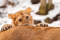 Attacking cub (Tambako the Jaguar) Tags: winter wild portrait snow playing cute cat zoo cub switzerland back big nikon funny lion young zrich claws attacking d300