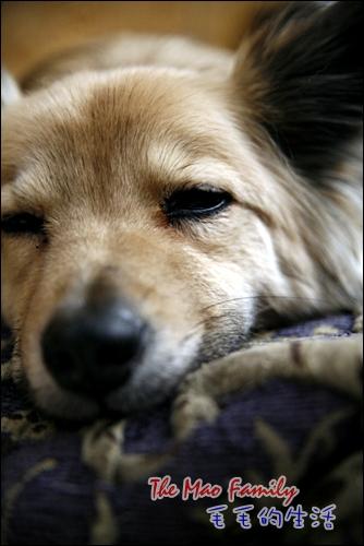 毛少爺睡覺中
