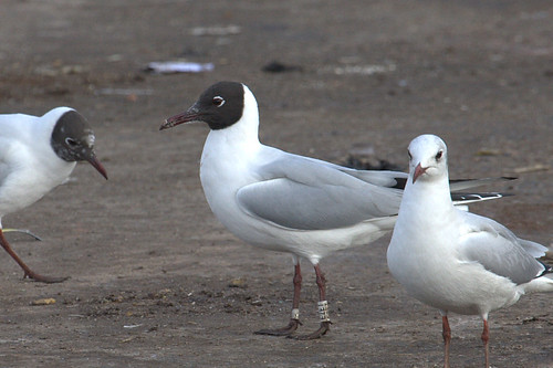 Black-Headed Gull - WHITE [E2ET] / black