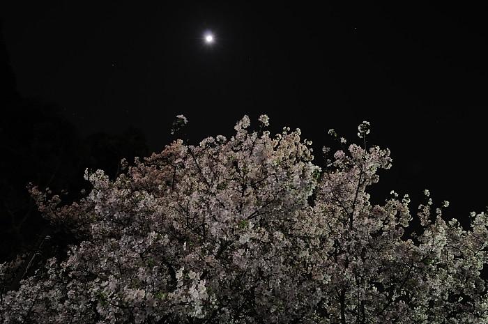 sakura-at-night
