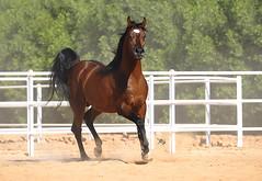 Arabian Horse  (Majed Al-Shehri   ) Tags: horse arabian majed 2010 alshehri