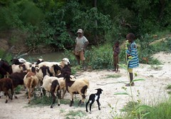 Young shepards (Nasaldog) Tags: africa boy river child goat ghana shepard jirapa babile upperwestregion chauw childhealthactionupperwest