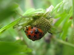 Undercover (Debi's kids (Here very little)) Tags: macro nature canon bug insect beetle ladybird ladybug ninespottedladybug