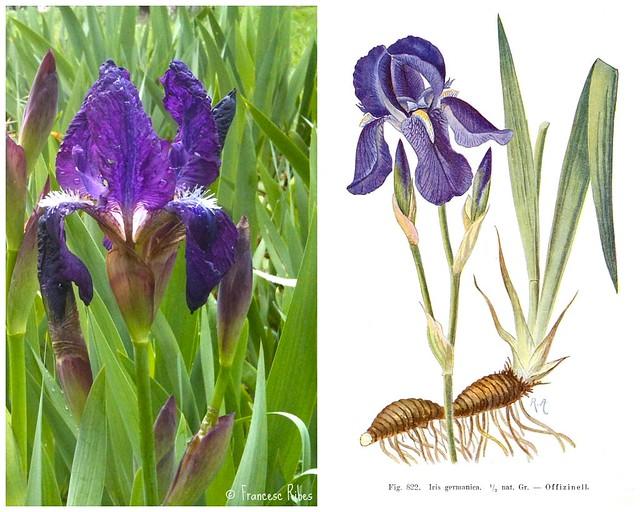 (315) Iris