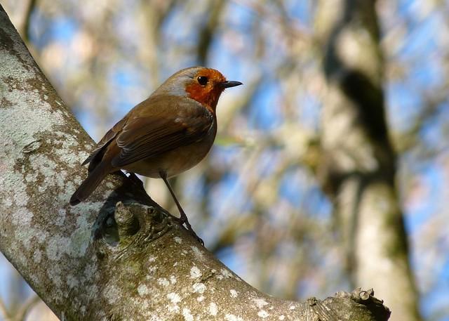 23995 - Robin, Mewslade, Gower