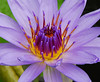 "Hawaiian Lily - 5 (Roni Bear) Tags: flower digital hawaii nikon lily nikond80 nikon18135mmf3556g hawaiianlily ""nikonflickraward"" ronibear"
