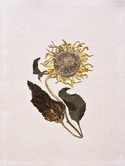 Sunflower/ (solodstudio) Tags: flowers sunflower pressed herbarium helianthus  oshibana