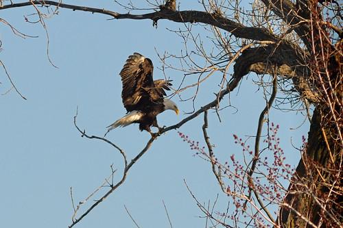 Bald Eagle Landed DSC_5905