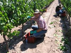 Vendimia 2011, en la piel del cosechador