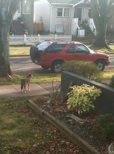 Coyote walking along the sidewalk, right in front of my house!