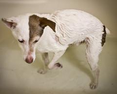 082/365: Like Wet Dog (Kitworks) Tags: dog cute wet water fur shower bath sweet days tub 365 pathetic