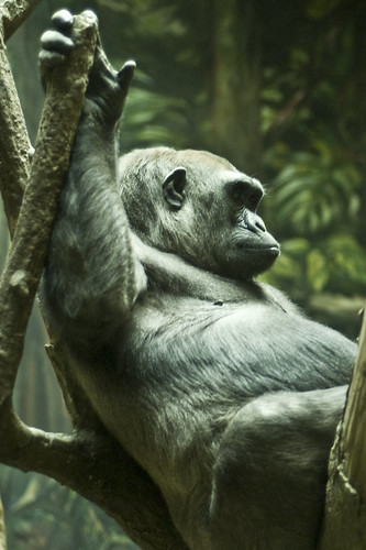 Gorilla in repose.
