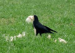24083 - Chough (Adam Tilt) Tags: birds wales ceredigion chough