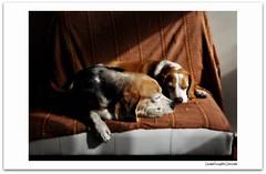 Any plans for the weekend? (Betolandia) Tags: copyright dog white blanco sol beagle dogs nap mel perro sleepy silla solarium ilegal siesta sillon perros beto dormir hounds beagles dormilones sabuesos betolandia susanagrimaldisheridan didyouknowthatitisillegaltostealpictures robarfotoses