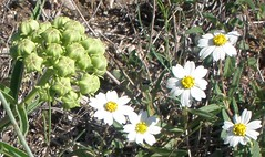 Blackfoot Daisy and Antelope Horn