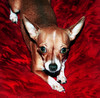 Look Ma, No Fleas! (faith goble) Tags: red dog chihuahua cute male art bigeyes miniature bath teddy little kentucky ky faith small ears pillow tiny pup teacup cushion bowlinggreen goble firsthand faithgoble gographix faithgobleart thisisky