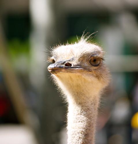Avestruz (Zoo de Barcelona)