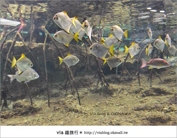 【沖繩景點】美麗海水族館~帶你欣賞美麗又浪漫的海底世界!15