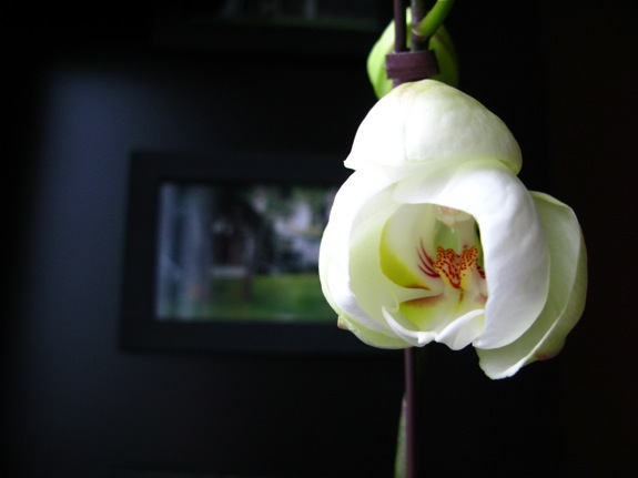 white phalaenopsis orchid bloom 001
