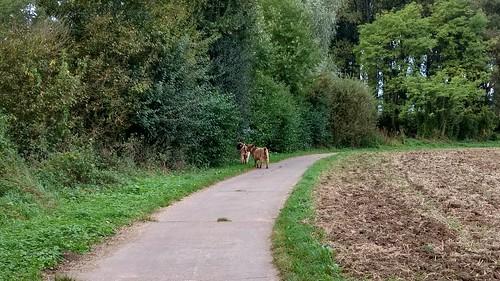 Wilde Ziegen beim Wahlheimer Hof im Selztal?