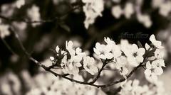 sakura (www.martasuarezcota.com) Tags: summer white black flower tree byn primavera blanco arbol spring interesting y blossom bokeh negro flor bn explore verano bloom sakura popular interesante kenzo almendro tardes cerezo explored interesantisimo interesantissimo