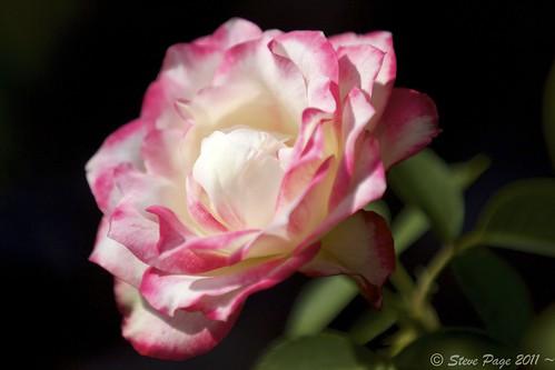 ~ Pink Petals ~