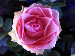 I love flowers (Grazissima) Tags: flowers roses mb pinkandwhite floralart favoriteflowers simplyflowers iloveflowers aflowershowcase iphonecamerashots goldstaraward worldofflowers beautiflower flowersarefabulous roseetblanc awesomeblossoms photostakenwithanappleiphone onlyroses flowersonflickr addictedtoflower cherishyourdreamsandvisions