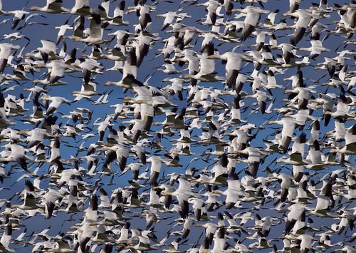 フリー写真素材, 動物, 鳥類, カモ科, 白雁・ハクガン, 群れ・大群,