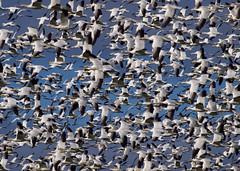 [フリー画像] 動物, 鳥類, カモ科, 白雁・ハクガン, 群れ・大群, 201102051100
