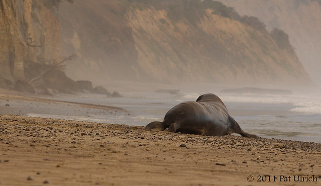 Elephant seal retreat - Pat Ulrich Wildlife Photography