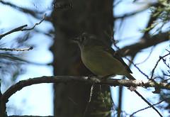 Ruby-crowned Kinglet (Regulus calendula) (macronyx) Tags: usa bird nature birds wildlife birding aves regulus oiseaux fåglar rubycrownedkinglet reguluscalendula kinglet