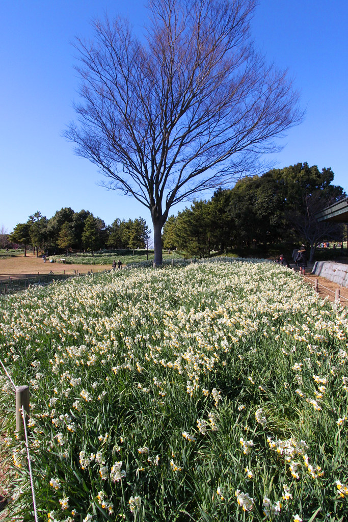 Kasai Rinkai Park Narcissus Festival (3)