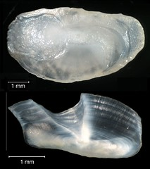 Spot Otolith (FWC Research) Tags: fish florida research otolith