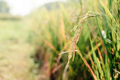 Oryza Sativa (Fajar Nurdiansyah) Tags: bali plant indonesia rice bokeh simple backlighting d90 oryzasativa sigma2470mmexdg