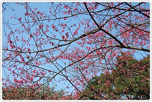三芝櫻花2