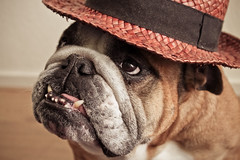 Grumpy Old Lady (Oh beautiful world.) Tags: portrait dog hat animals funny bulldog englishbulldog ohbeautifulworld treesje hannekevollbehr