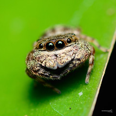 Supercute Jumper (Sir Mart Outdoorgraphy) Tags: flower macro fauna magazine insect flora education photographer bokeh outdoor bugs best micro malaysia jumper grasshopper penang indah supermacro jumpingspider outing kedah butterworth salticid mmt unik serangga sik salticidae nikonian ulat kumbang sp90 menarik tamronsp90 nikonuser jurugambar homemacro penangflickr d7000 sirmart eyesofspider outdoorgraphy penangflickrgroup kedahflickr malaysianmacroteam latamengkuang sp90sb900d7000diydiffuser