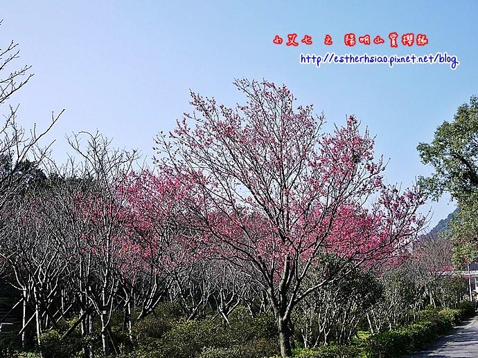16 櫻花有些稀疏