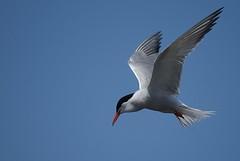 Common Tern (Sterna hirundo) (Paul Floyd Wildlife Photography) Tags: prime sony flight tern birdinflight commontern sternahirundo reflex500mm sonya200