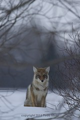 Coyote Canis latrans (yahsemtough) Tags: coyote winter snow canada regina saskatchewan plains prairies canis latrans
