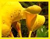 morning rain drops (Leonard J Matthews) Tags: morning flower rain yellow drops flora australia bloom mythoto savebeautifulearth