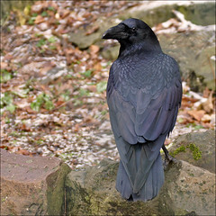 Raven, the largest crow (Foto Martien) Tags: black holland bird netherlands dutch zoo noir negro nederland ave crow raven zwart nero oiseau raaf schwarz brun vogel rhenen pjaro rabe krhe dierentuin ouwehandsdierenpark kraai dierenpark corbeau corvuscorax corvidae commonraven grandcorbeau northernraven kolkrabe cuervocomn a550 corvoimperiale ouwehandszoo cuervogrande martienuiterweerd martienarnhem sonyg70300ssm sonyalpha550 mygearandme mygearandmepremium martienholland mygearandmebronze fotomartien greatraven rabevogel holarcticraven
