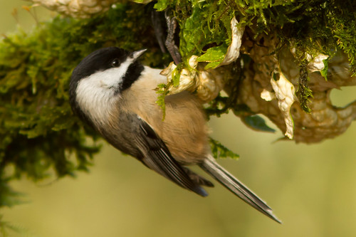 Black-capped Chickadee Feeding