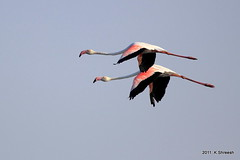 Flemingos in Flight.. (K. Shreesh) Tags: india birds bhigwan naturesfinest eos50d ef400f56l indapur beautifulworldchallenges