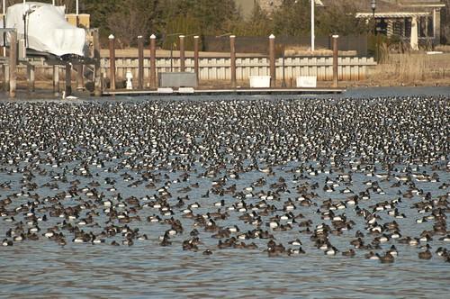 11-Ducks-0545