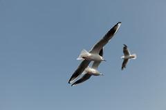 110227_110__MG_7291 (oda.shinsuke) Tags: bird
